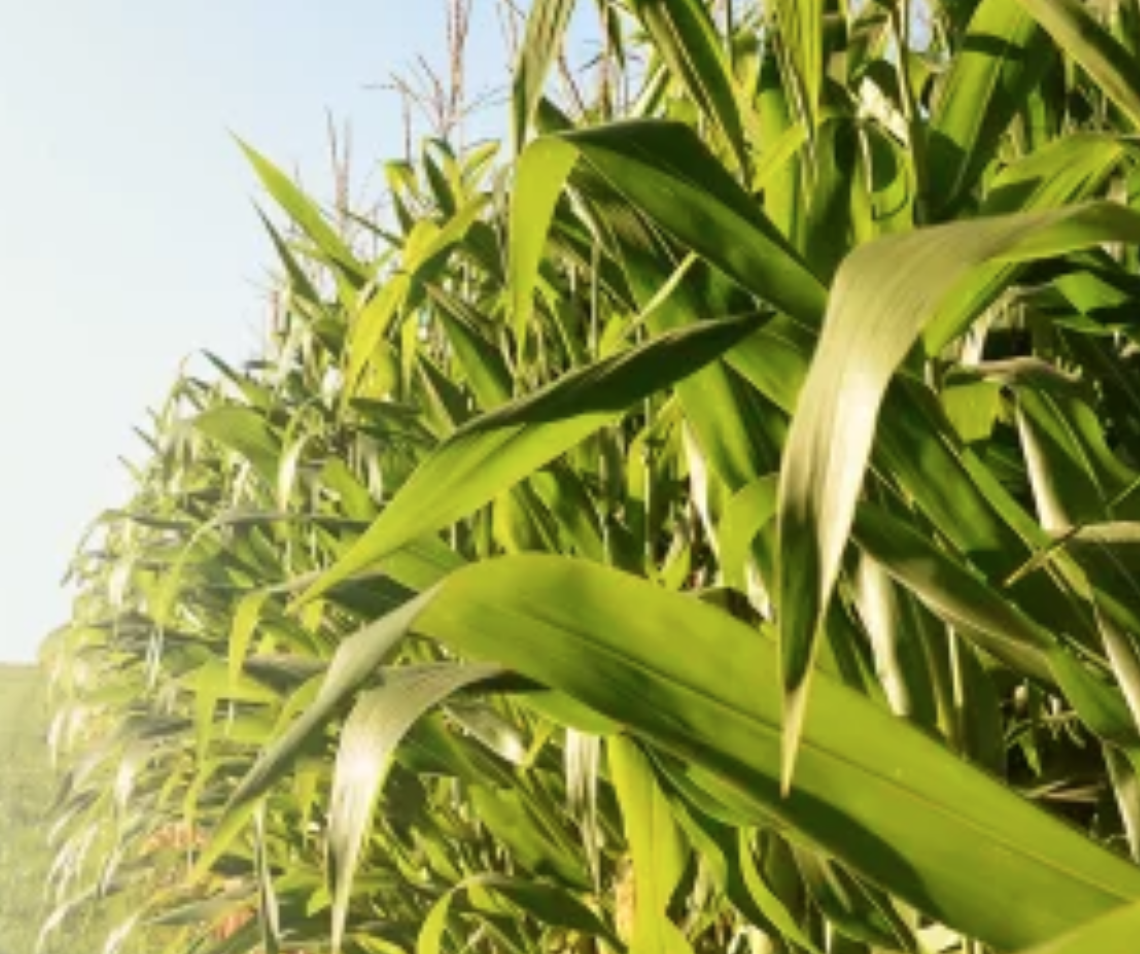 Close-up of corn field in summer time